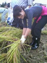 市議時代に稲刈りをする金子恵美さん